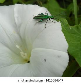 A green beetle (Oedemera nobilis) on a bindweed flower
