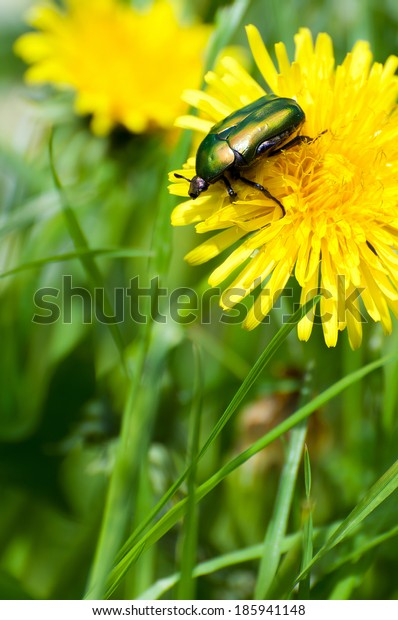 green beetle on yellow flower in natural background