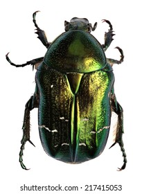 Green beetle. Rose chafer (cetonia aurata) isolated on white background