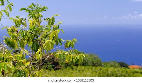 Green belt of coffee plantations on hills over Kona, Big Island, Hawaii