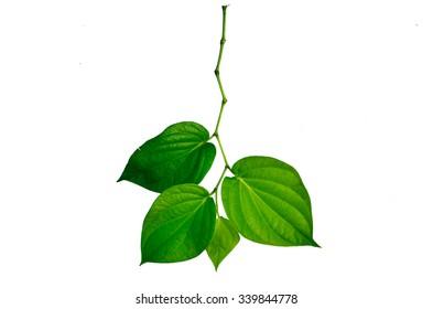 Green betel leaf isolated on white background