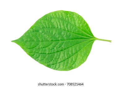 Green betel leaf isolated on white background.