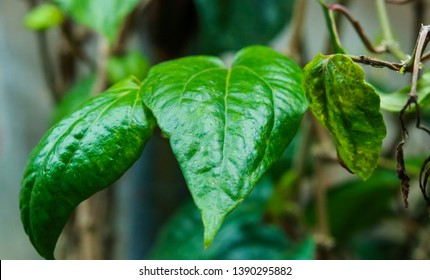 Green betel leaf, local asian herbal leaves. as a culture, betel leaves are usually chewed with gambir, areca nut, tobacco and lime.