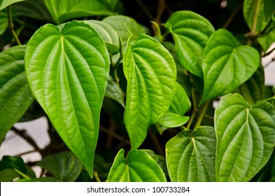 Green betel leaf in the park.