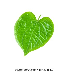 Green Betel or Piper Betle leaf - isolated on white background