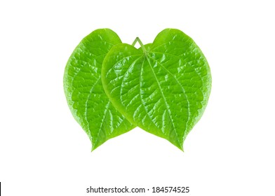 Green Betel or Piper Betle leaves - isolated on white background