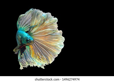 Green betta fish with golden reflections Isolated on a black background.