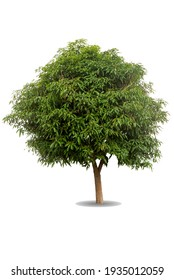 Green big tree isolated on white background. Nature object cutout for design. Mango Tree ( Mangifera indica Linn ) glow in tropical rainforest. greenery leaves and trunk growth in spring season