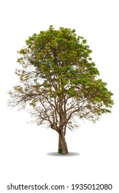 Green big tree isolated on white background. Nature object cutout for design. Ceylon oak ( Schleichera oleosa ) in tropical rainforest. life greenery leaves and trunk growth in spring
