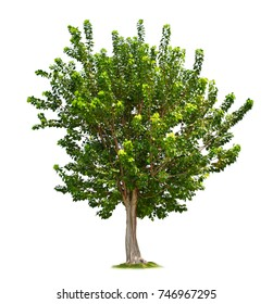 Green big tree isolated on white background, Sacred Fig (Ficus religiosa) tree
