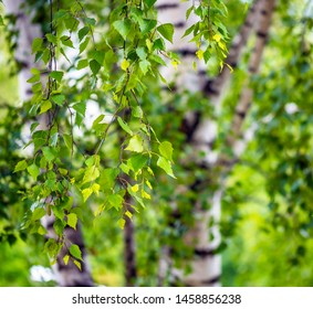 Green birch branches, spring summer background