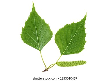 Green birch bud and leaves isolated on white background