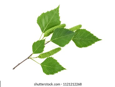 Green birch buds and leaves isolated on white background