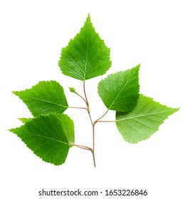 Green birch leaf isolated on white background.  File contains clip path.