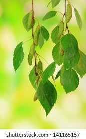 Green birch leaves, on green background
