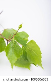 Green birch leaves on a white background