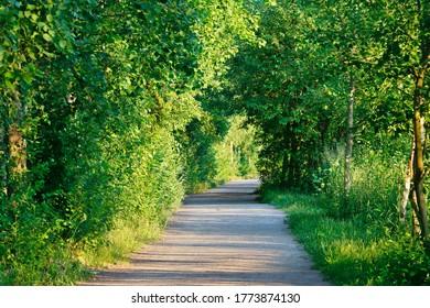 The green birch tree alley in midsummer summer in midnight sunlight
