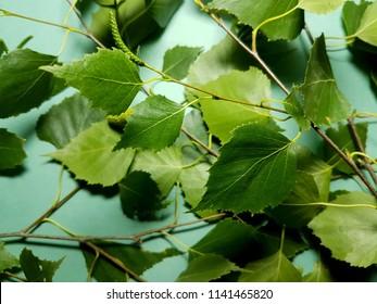 Green birch tree leaves Betula pendula, on background green. Close-up.