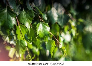 green birch twigs