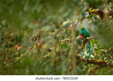 Green bird Quetzal, Pharomachrus mocinno, magnificent sacred green bird from Costa Rica. Rare magic animal in mountain tropical forest. Birdwatching in America.