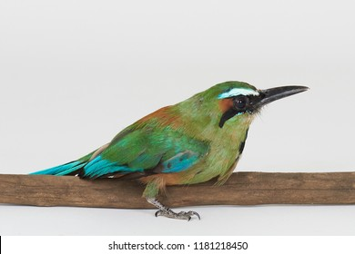 Green bird sit on tree branch isolated on white studio background