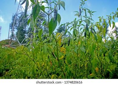 Green black Chilli Farming...ral photo background