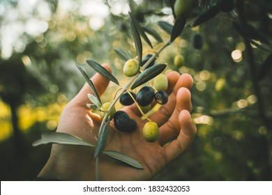 Green and black olives on the branch tree, hand picking