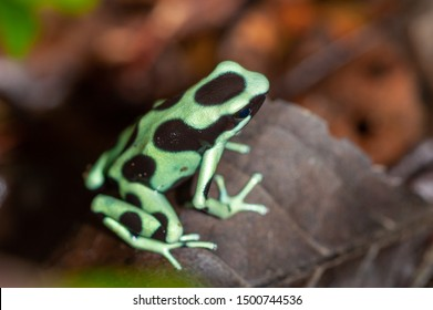 Green and Black Poison Dart Frog (Dendrobates auratus) in tropical rainforest, Costa Rica