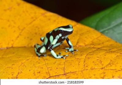 green and black poison dart frog or poison arrow frog aka  Dendrobates auratus . sarapiqui, costa rica