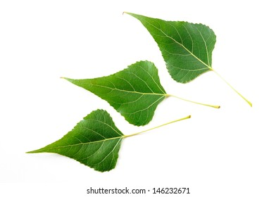 Green Black Poplar leaves isolated on white background