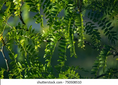 Green black walnut tree leaves on a branch in summer with sun and shadow