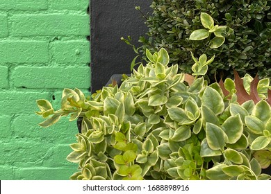 a green black warehouse wall close-up and hedge plants