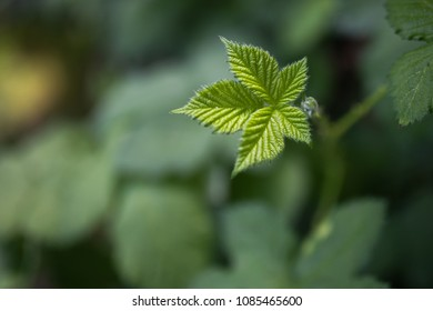 green blackberry leaf with blurry background