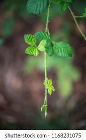 green blackberry vine