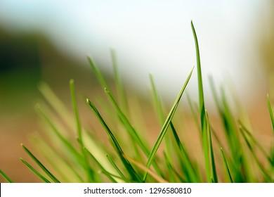 Green blades of grass close-up