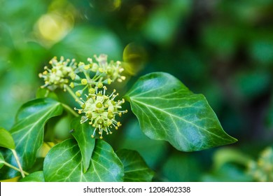 Green blooming hedera in autumn