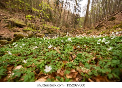 Green blossoming forest floor in the spring