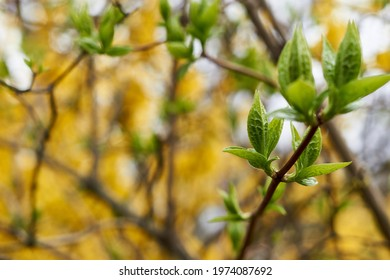 green blossoming leaves on the background of Blooming yellow forsythia. Bright natural background.  - Shutterstock ID 1974087692