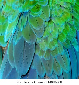 Green and Blue background of Great Green Macaw or Buffon's macaw bird's feathers, the fine green and blue texture