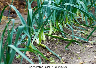 a green and blue field of Allium ampeloprasum leek plants from onion family growing at the farm, a low calories vegetable perfectly suitable for diet