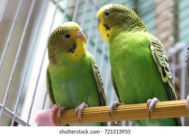 Green, blue and yellow budgie australian parrot