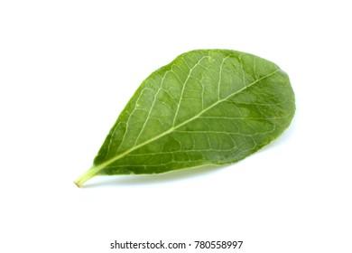 Green blueberry leaf