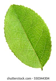 green blueberry leaf isolated with clipping path