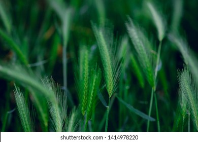 Green blurred natural background. Triticale plants. Bloossom of herbs.