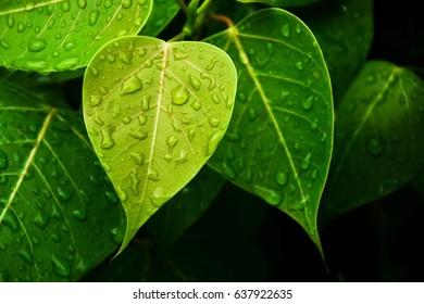 green bo leaf after raining day - closeup