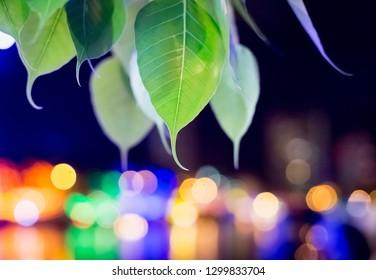 Green Bo leaf in buddhist Vesak festival night in temple for buddhism.