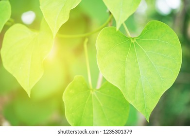 Green Bo leaf leaves withsunlight background.
