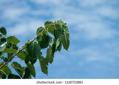Green bo leaf  ( pho leaf, bothi leaf) sacred fig leaves, v-shape or heart shape with blue cloudy background