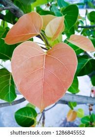 Green bo leaf ( pho leaf, bothi leaf) sacred fig leaves, v-shape or heart shape , background and texture