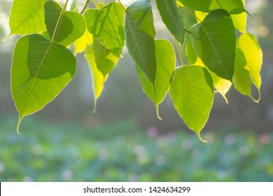 Green Bo leaf with Sunlight  in the morning, Bo tree  representing Buddhism in thailand.